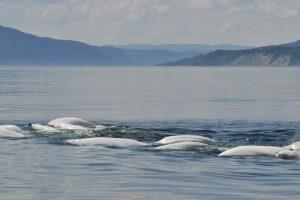 Bélugas à l'embouchure de la rivière Saguenay (crédit photo: GREMM)